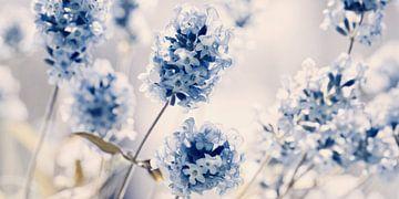 Lavendel sur Violetta Honkisz