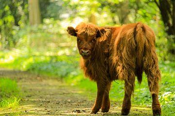 Schotse hooglander van Iris Mooy