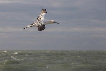 Vliegende jonge Jan-van-Gent boven zee van Marcel Klootwijk