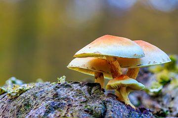 Groepje paddenstoelen, zwavelkoppen, op een boomstam van Photo Henk van Dijk