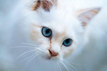 Kat met blauwe ogen van Maurice Dawson