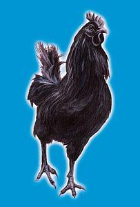 Big Black Cock (grote zwarte haan)
