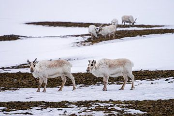 Rendieren op Spitsbergen van Merijn Loch