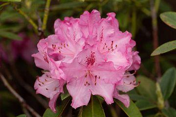 Bloeiende Rododendron von Lisenka Pauw