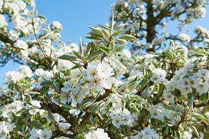 Perenbloesem in het voorjaar