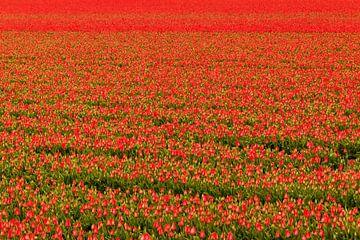 Rotes Zwiebelfeld mit Tulpen von Ilya Korzelius
