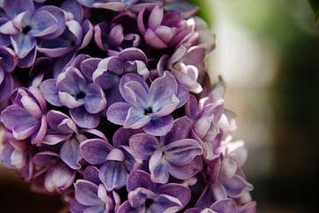 Blauw-paarse hortensia van