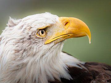 Eaglehead van Freddy Hoevers