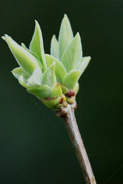 Die Knospen gehen im frühen Frühjahr aus der Pflanze hervor von Suzanne Schoepe