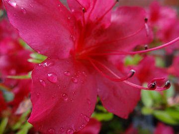 Azalea Raindrops van Femke Vergeer