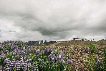 Isländische Landschaft | Lupine | Lila Blume von Floor Bogaerts