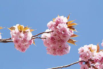 Japanse bloeiende kers IV van Anja Bagunk