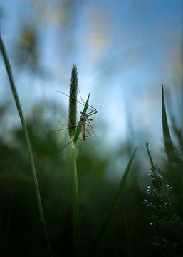 Langbeinige Mücke von Jeroen Lagerwerf