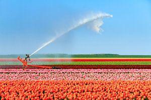 Tulpen irrigatie in de flevopolder van
