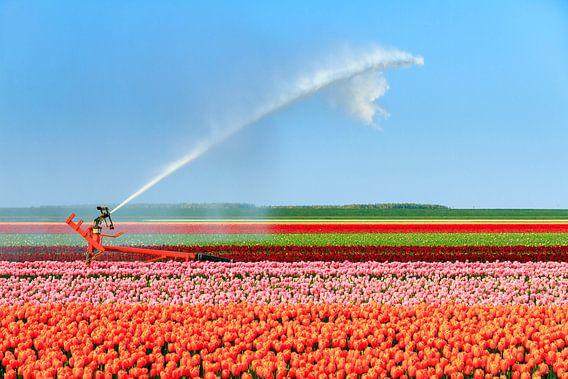 Tulpen irrigatie in de flevopolder van Dennis van de Water