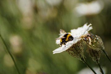 Honingbij op witte strobloem von