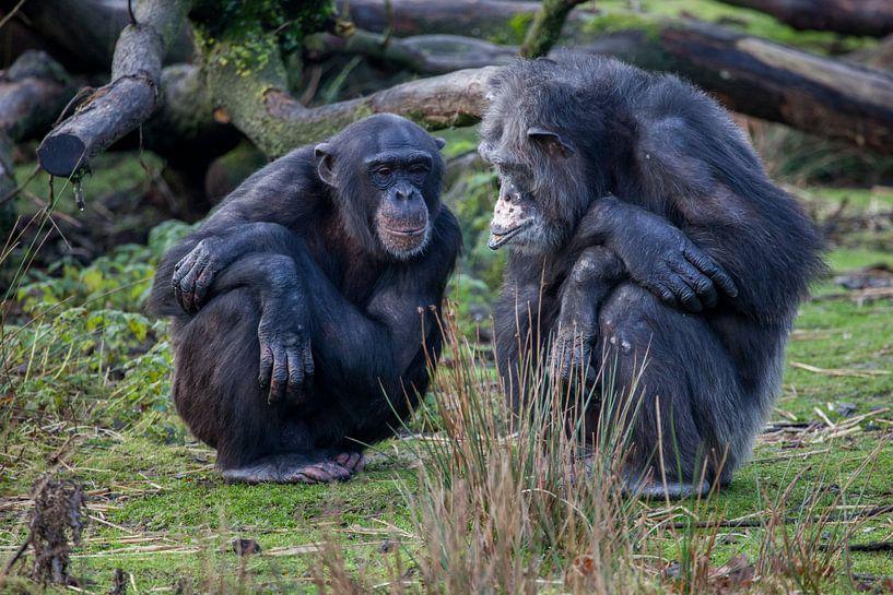 Twee chimpansees, oud en jong van Joost Adriaanse