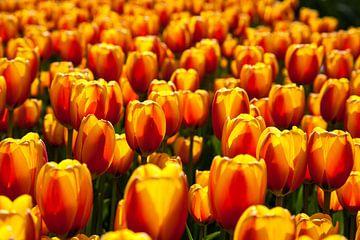 Tulpen van Marc Arts