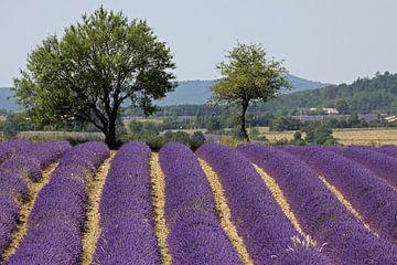 Lavendel von Antwan Janssen
