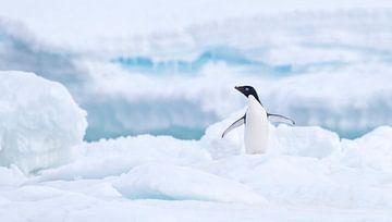 Adelie-Pinguin (Pygoscelis adeliae) steht mit ausgebreiteten Flügeln auf dem Eis von Nature in Stock