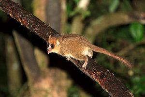 Muismaki Madagaskar