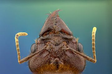 Bladsnijmier (Atta Cephalotes) von Harm Rhebergen