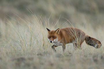 Red Fox ( Vulpes vulpes ), adult in nice winterfur, hunting in grasslands, daylight, wildlife, Europ van wunderbare Erde