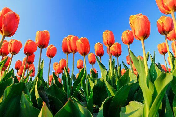 Oranje tulpen tegen een blauw lucht van Dennis van de Water