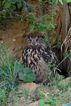 Eagle Owl  * Bubo bubo *,  wildlife van wunderbare Erde