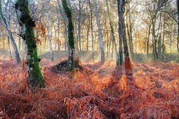 Berken en varens in de herfst von Dennis van de Water