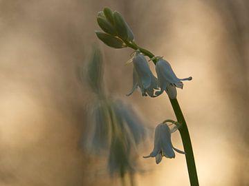 Witte Boshyacint von Dick Vermeij