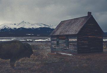 Bison dans une maison abandonnée sur Hendrik Jonkman