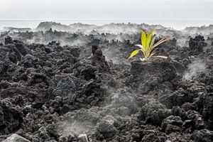 Lava Plant Hawaii