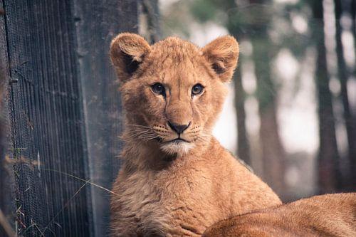 Het Leeuwenwelpje