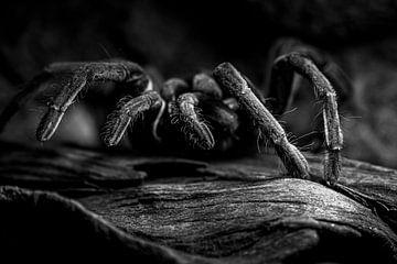 Vogelspinne Theraphosidae von Raymond Engelen