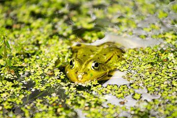 Frosch im Teich von