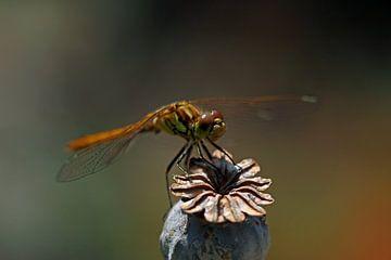 Libelle op papaverzaaddoos  van Wim Bodewes