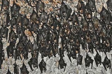 Er hangen veel vleermuizen. Vleermuizen in de grot Nepal, Pokhara: Vleermuizen aan het plafond van d van Michael Semenov