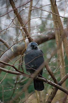 The Crow von Deveron Clarijs