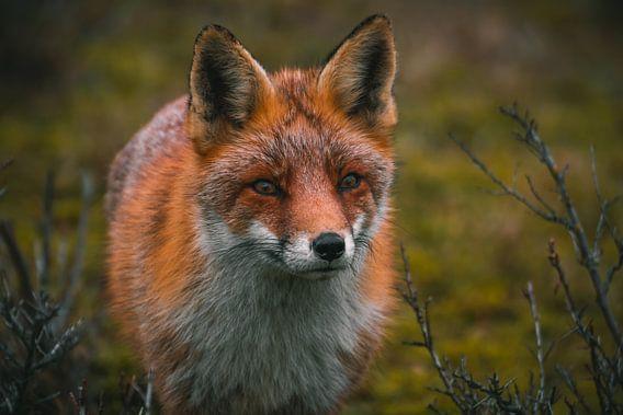 Een prachtige vos