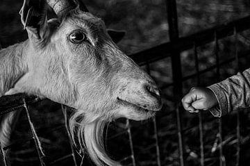 Ziege und Handje van Baby, der zum ersten Mal ein Treffen mit Herrn Goat hat. Nutztiere von Tom Poelstra
