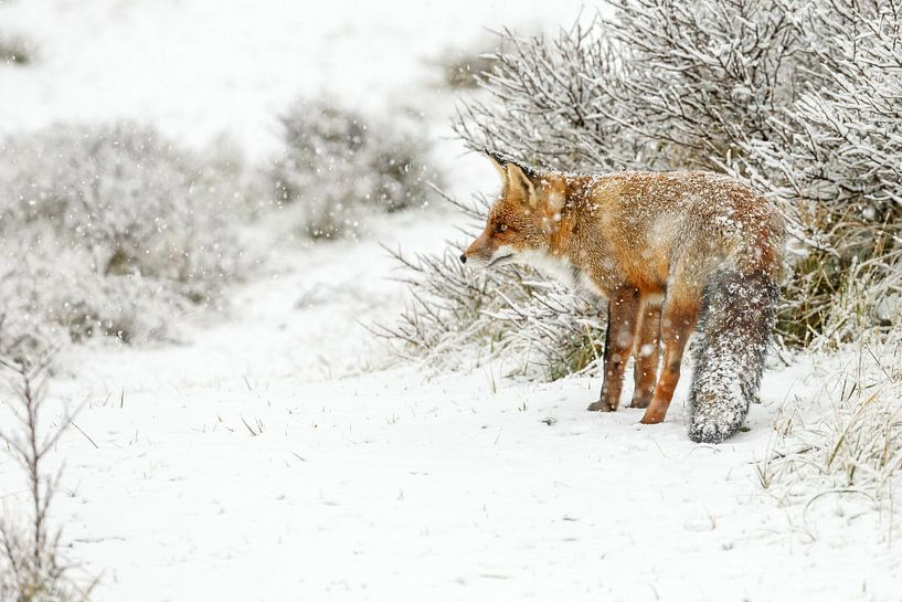Vos in een winterlandschap van Menno Schaefer