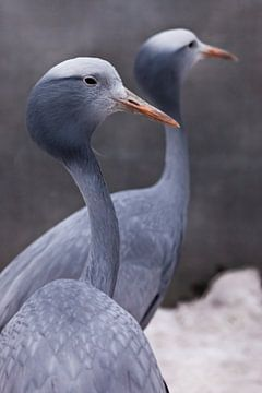 Grue bleue : oiseau gracieux de près, cou fin et long, belle tête sur fond flou ; le deuxième oiseau sur Michael Semenov