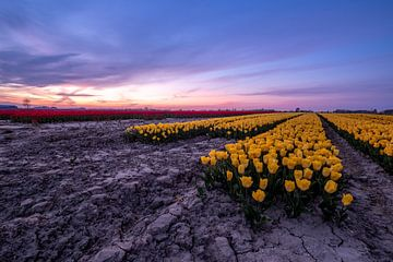 Tulipfield 2 Ter Hole, Zealand, Pays-Bas sur Mayee Riemens