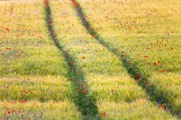 Mohntupfer im Getreidefeld von Daniela Beyer