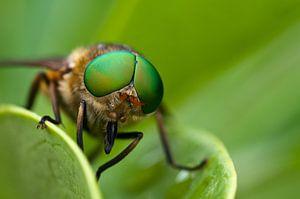 Vlieg met grote groene ogen