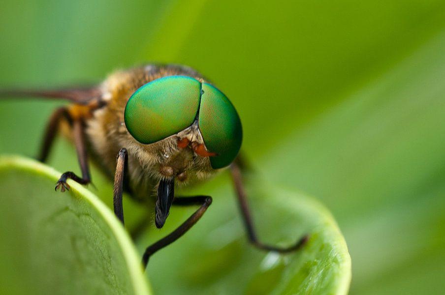 Vlieg met grote groene ogen van Miranda van Hulst