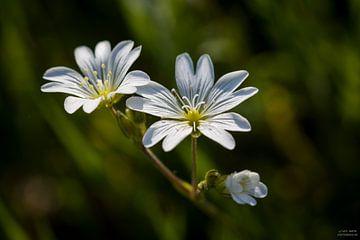 Witte bloem, Grasmuur von Jip van de Nes