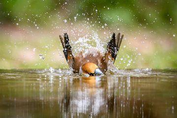 Apfelfink von Andy van der Steen - Fotografie