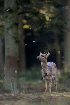 autumn... Fallow Deer *Dama dama* van wunderbare Erde